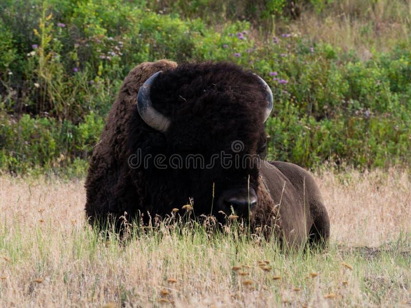 Amerikanischer Bison auf einer Wiese stockbilder
