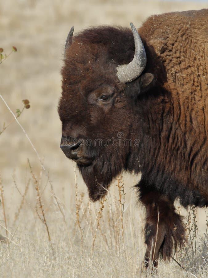 Amerikanischer Bison-Portrait lizenzfreie stockfotografie