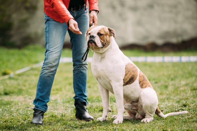 Amerikanischer Bulldoggen-Hund, der nahe Frau im grünen Gras während sitzt stockbilder