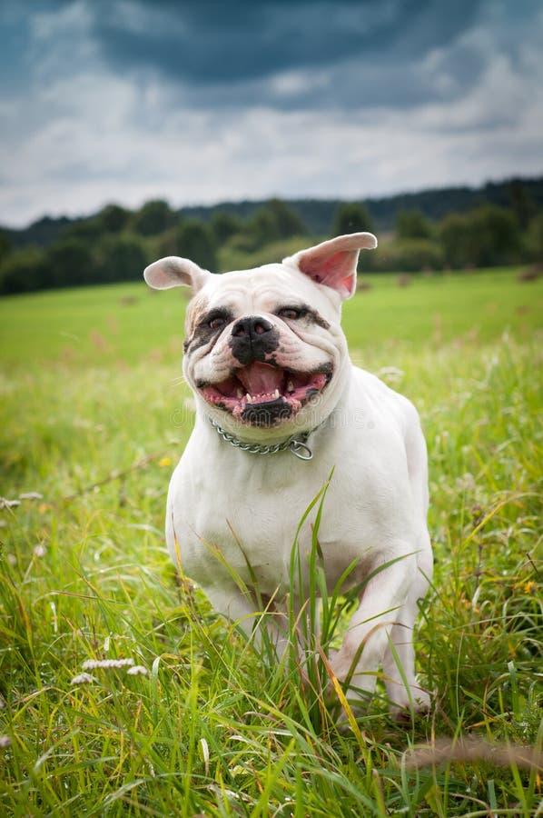 Amerikanischer Bulldoggenhund lizenzfreies stockbild