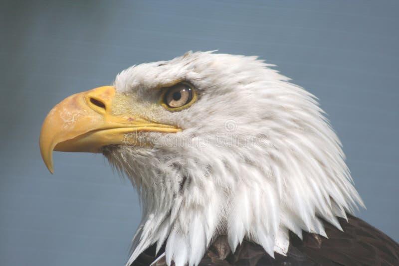 Amerikanischer Fisch-Adler lizenzfreie stockfotografie