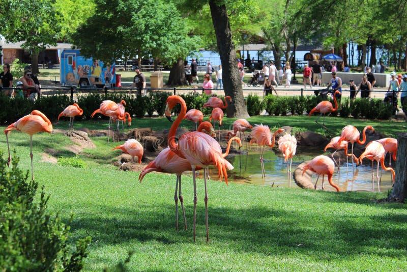 Amerikanischer Flamingo lizenzfreie stockfotografie