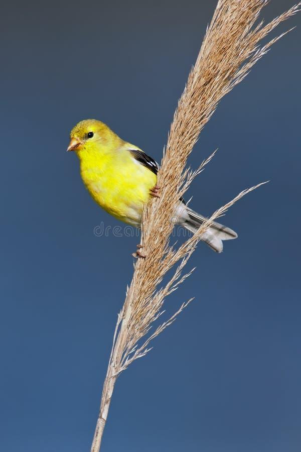 Amerikanischer Goldfinch stockfoto