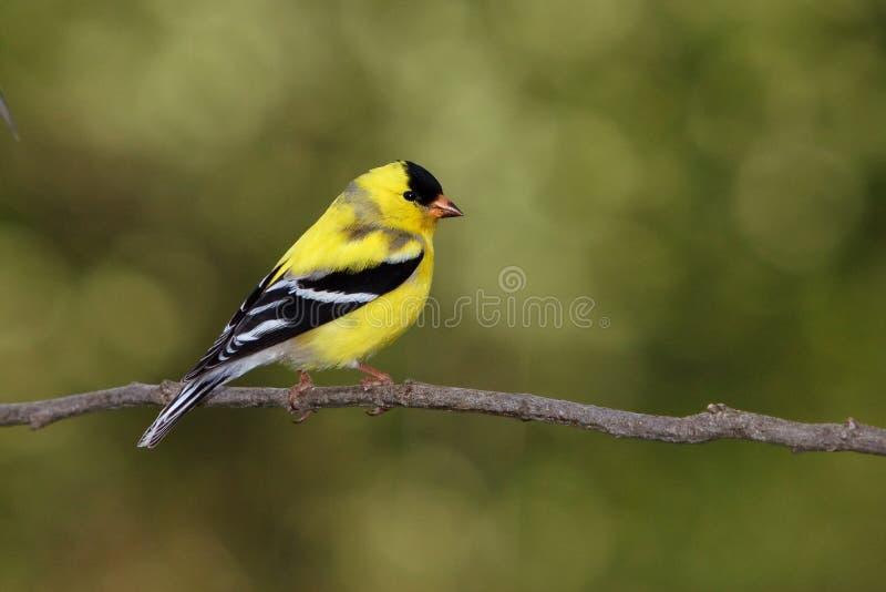 Amerikanischer Goldfinch-Molting Mann lizenzfreies stockfoto