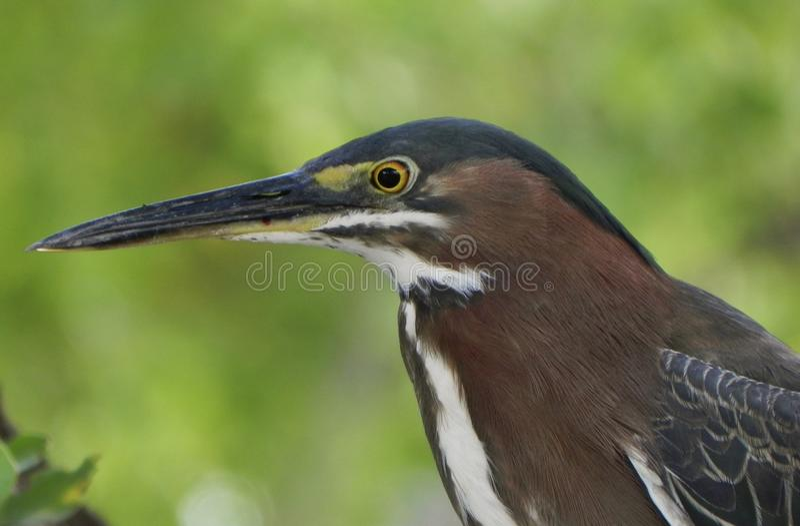 Amerikanischer Grünreiher-Vogel stockbild