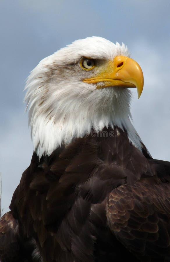 Amerikanischer kahler Adler. stockfotos