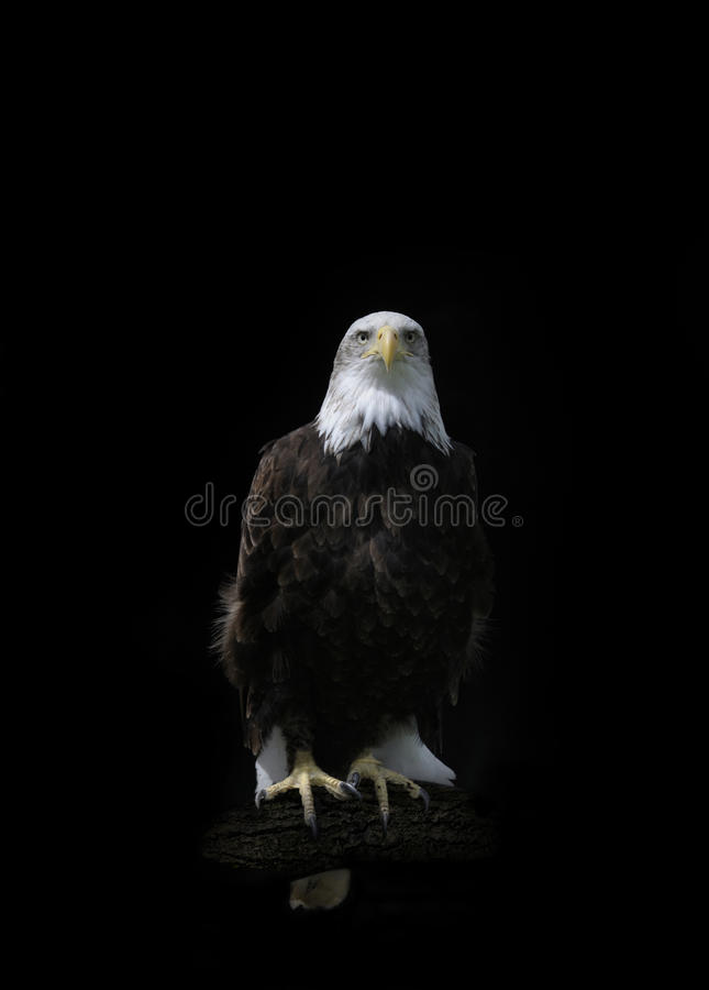 Amerikanischer kahler Adler (hallaeetus leucocephalus) stockfotos