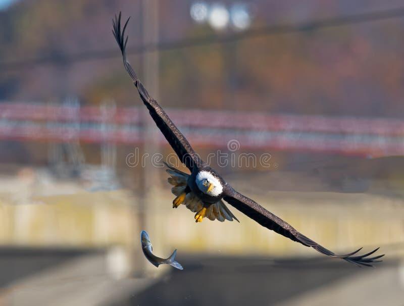 Amerikanischer kahler Eagle Drops Fish stockbilder