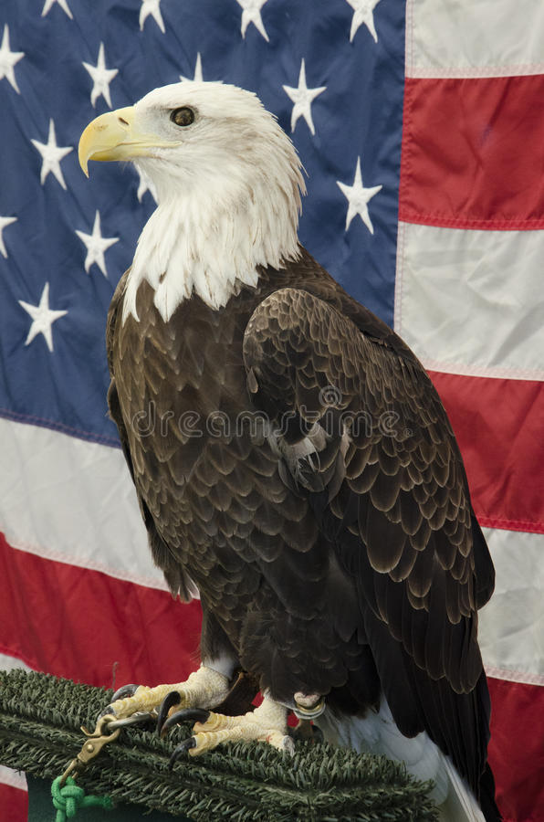 Amerikanischer kahler Eagle In Front der amerikanischer Flagge lizenzfreie stockfotos
