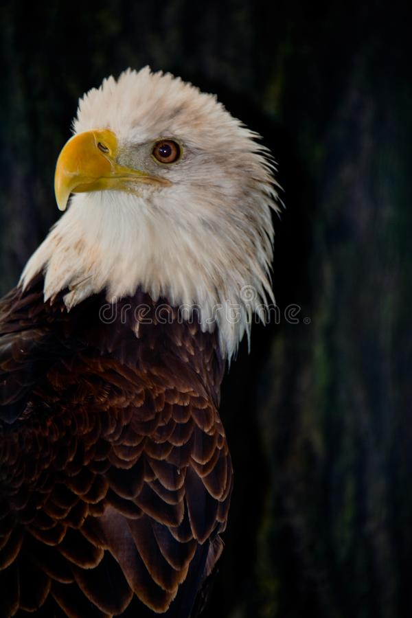 Amerikanischer kahler Eagle Watching lizenzfreie stockbilder