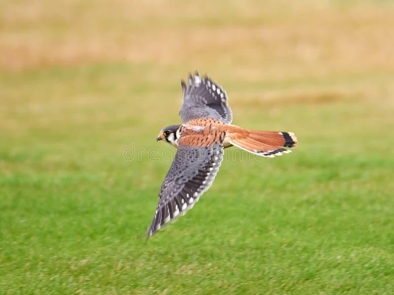 Amerikanischer Kestrel (Falco sparverius) lizenzfreies stockbild
