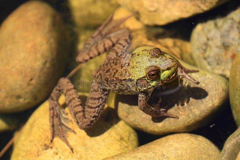 Amerikanischer Ochsenfrosch teils im Wasser lizenzfreie stockbilder
