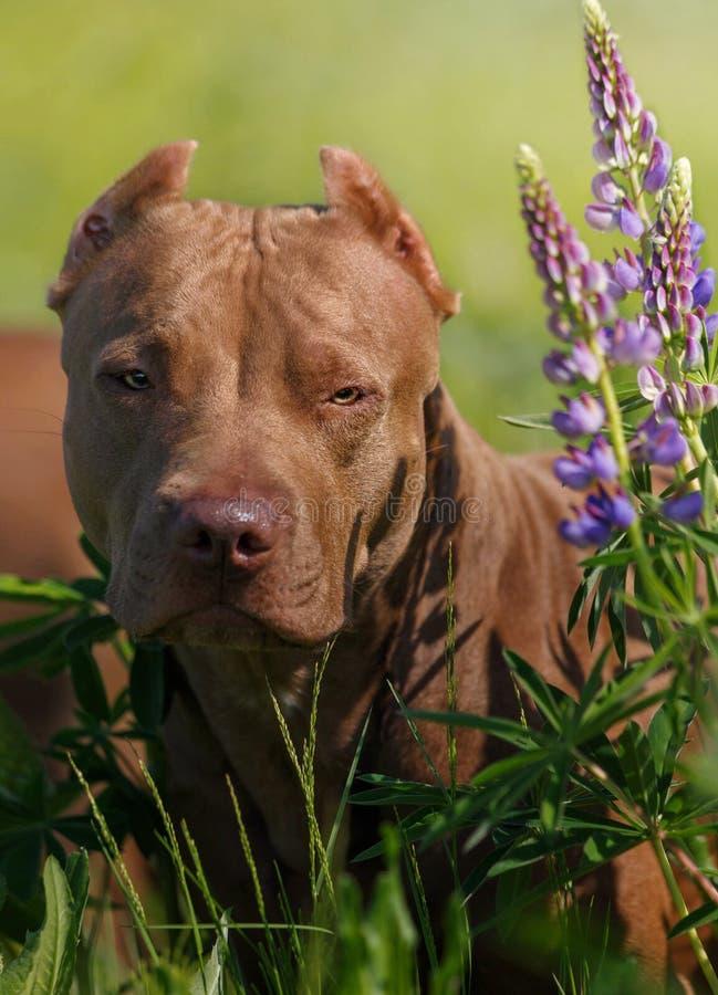 Amerikanischer Pitbull-Terrier stockbilder