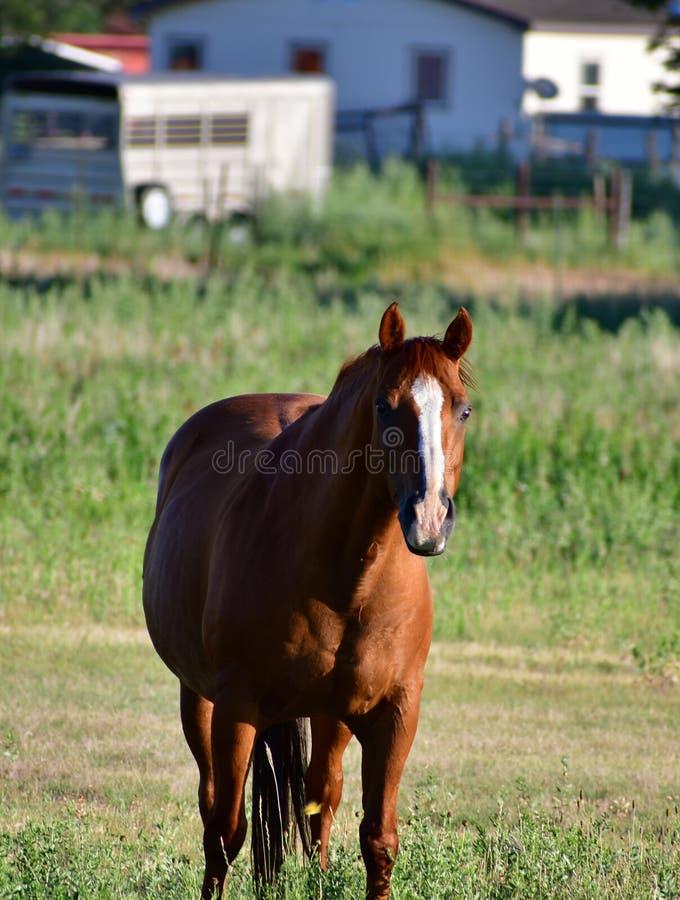 Amerikanischer Quarterhorse auf einem Gebiet mit Pferdeanhänger lizenzfreie stockbilder
