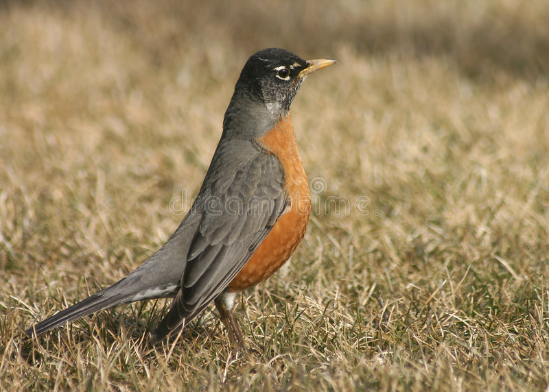 Amerikanischer Robin lizenzfreies stockfoto