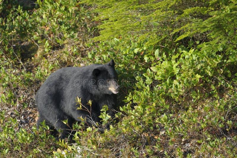 Amerikanischer Schwarzbär in den Sträuchen lizenzfreie stockbilder