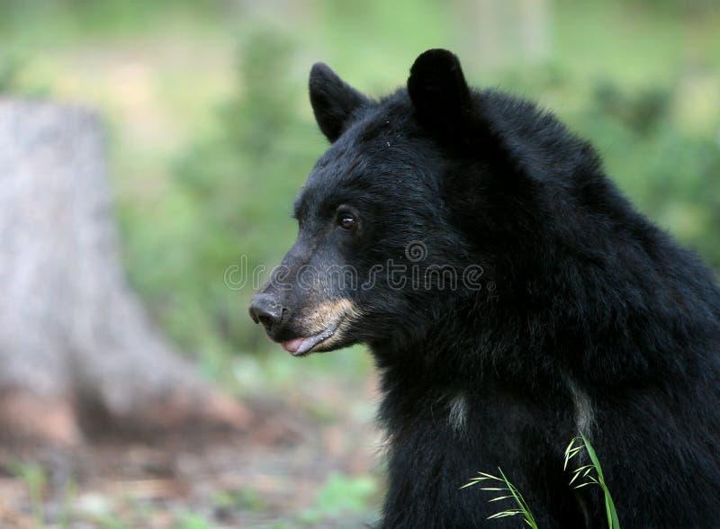 Amerikanischer schwarzer Bär lizenzfreie stockfotografie
