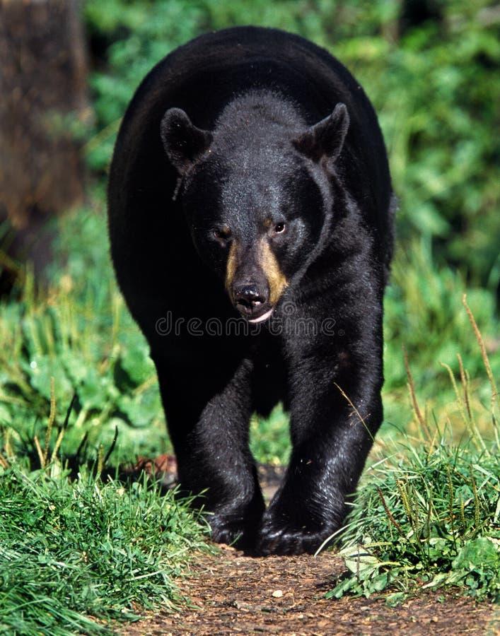 Amerikanischer Schwarzer Bär (Ursus Americanus) Lizenzfreies Stockfoto