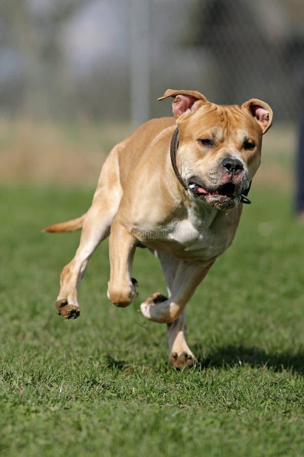 Amerikanischer Staffordshire-Terrier stockfoto