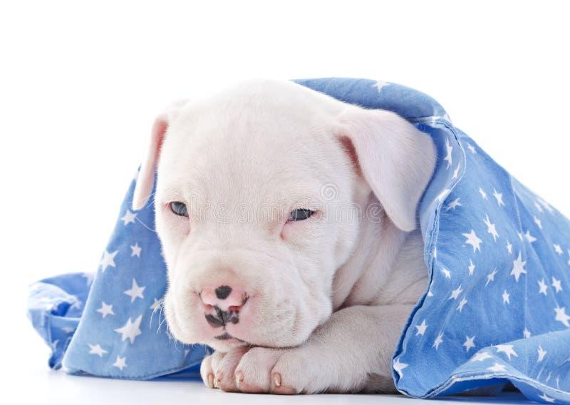 Download Amerikanischer Staffordshire-Terrier Stockbild - Bild von hund, pedigreed: 27728545