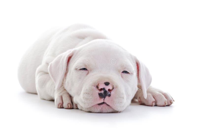 Download Amerikanischer Staffordshire-Terrier Stockbild - Bild von schätzchen, legen: 27728569