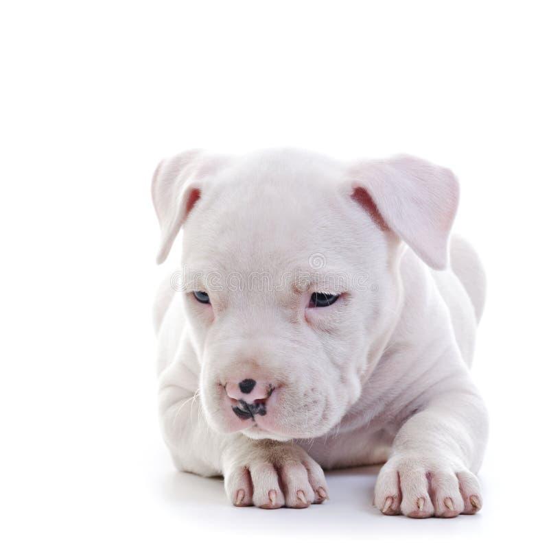 Download Amerikanischer Staffordshire-Terrier Stockbild - Bild von amerikanisch, staffordshire: 27728579