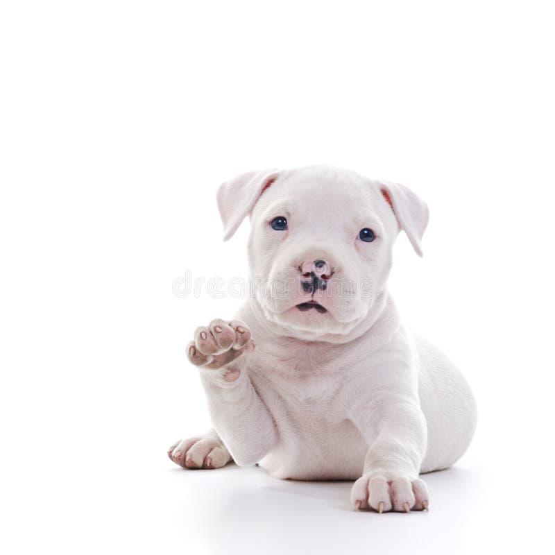 Download Amerikanischer Staffordshire-Terrier Stockfoto - Bild von welpe, tier: 27728764