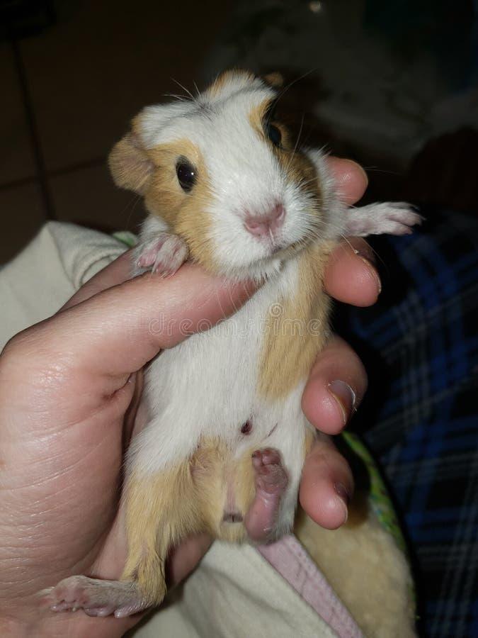 Amerikanisches Babymeerschweinchen stockfoto
