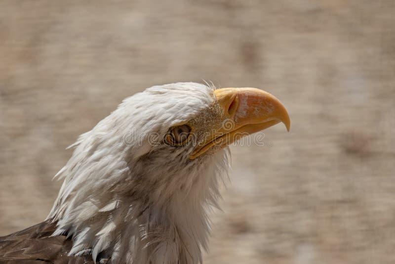 Amerikanisches kahler Adler-Profil stockbilder