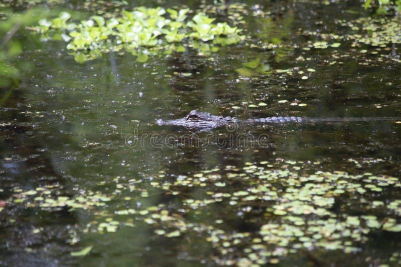 Amerikanisches Krokodil stockfoto