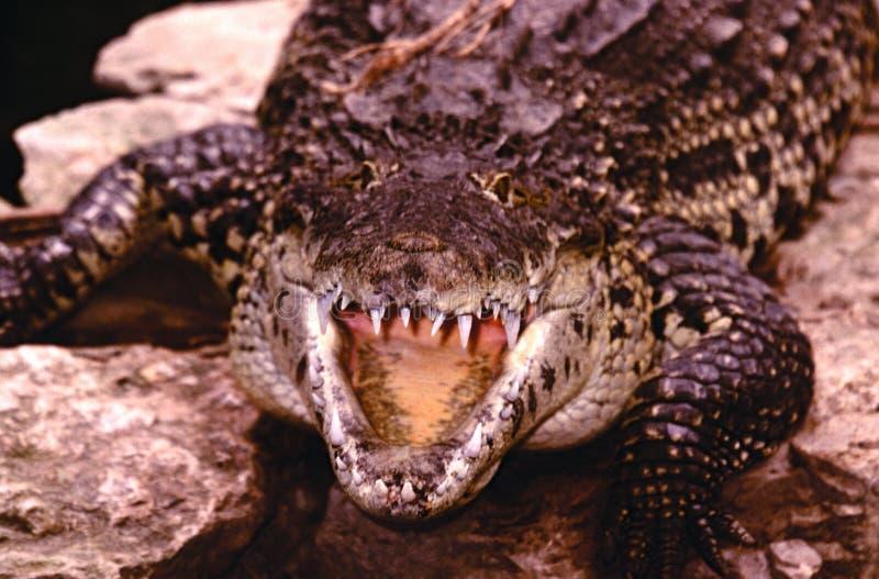 Amerikanisches Krokodil stockfotos