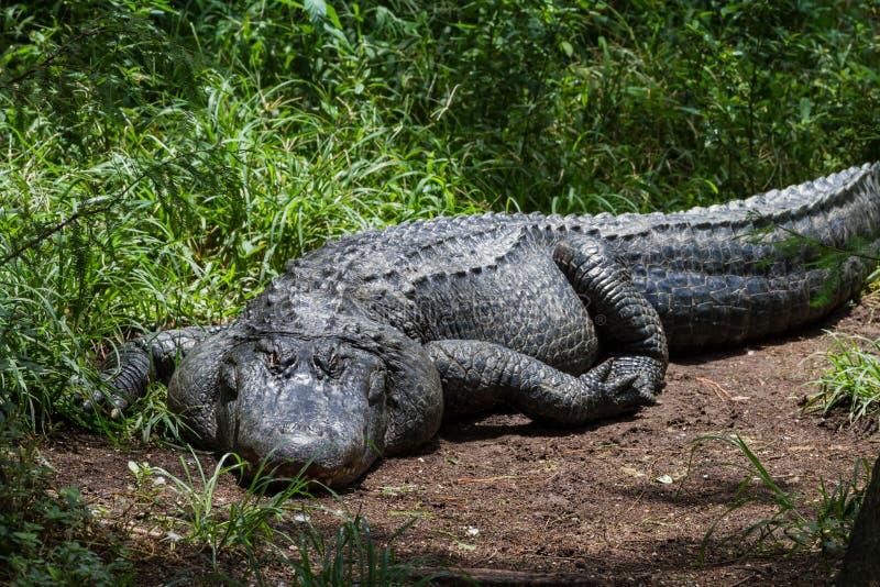 Amerikanisches Krokodil stockbild