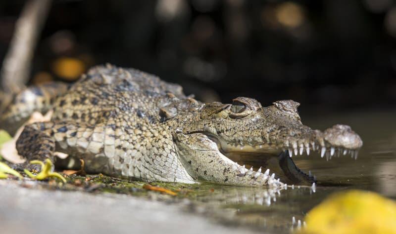 Amerikanisches Krokodil stockbilder