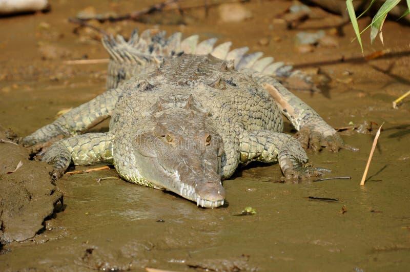 Amerikanisches Krokodil auf Flussquerneigung, Costa Rica, CEN stockfotografie