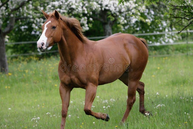 Amerikanisches Quarterhorse stockfotos
