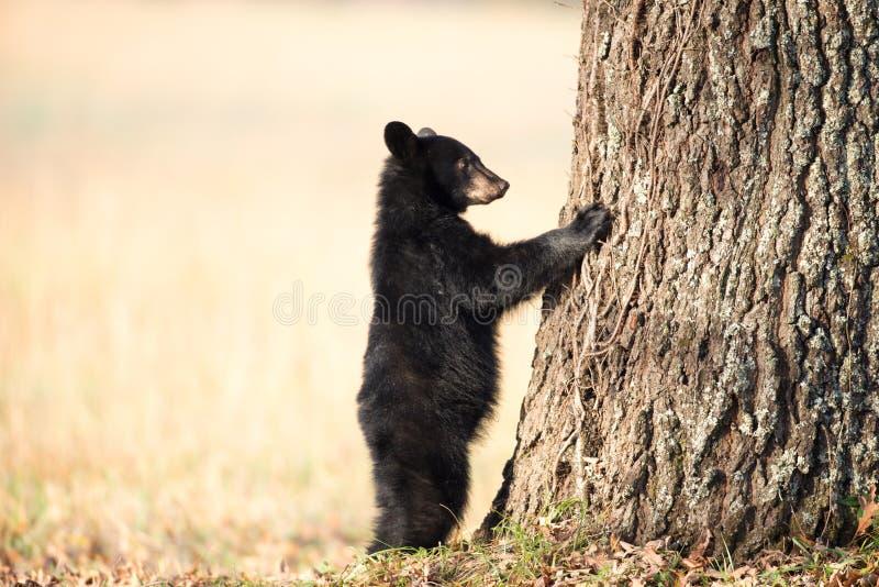 Amerikanisches schwarzes Bärenjunges lizenzfreies stockfoto