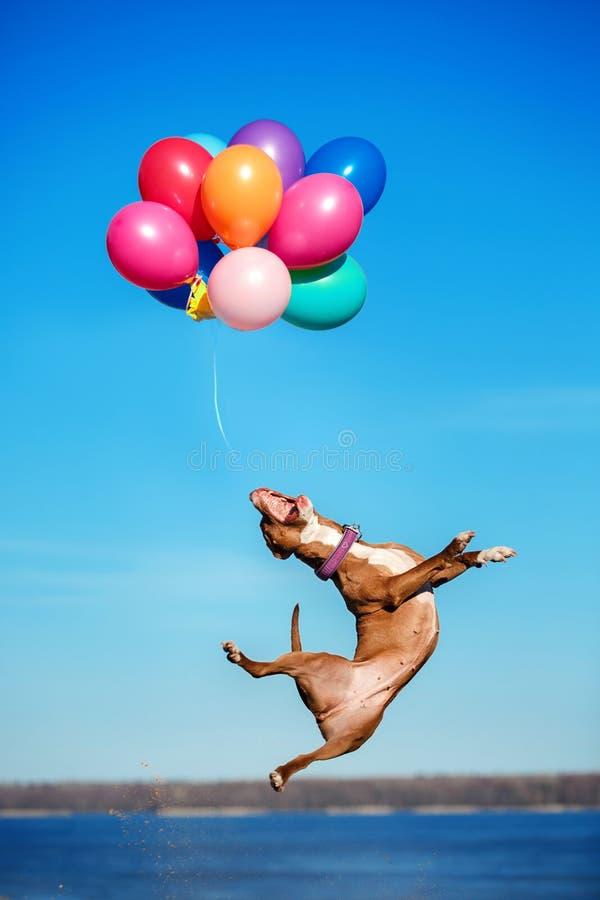 Amerikanisches Staffordshire-Terrierhund springt in die Luft, um Fliegenballone zu fangen stockfoto