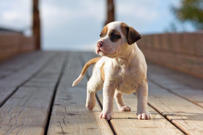 Amerikanisches Staffordshire-Terrierwelpe stockfotos