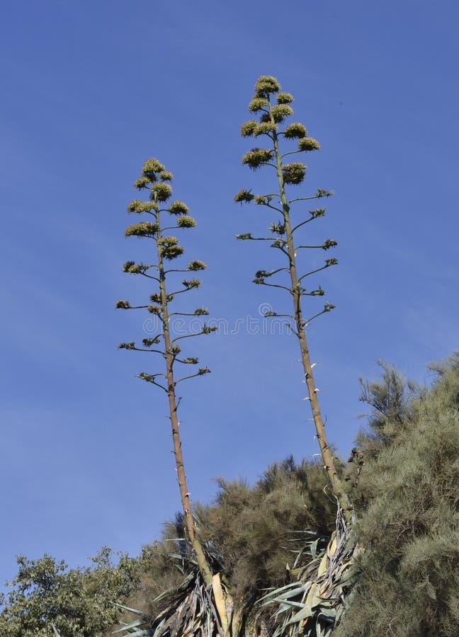 Amerikansk agave med dess mycket höga centrala blomma royaltyfri fotografi
