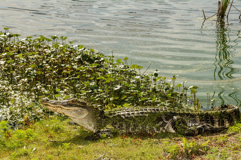 Amerikansk alligator royaltyfri bild
