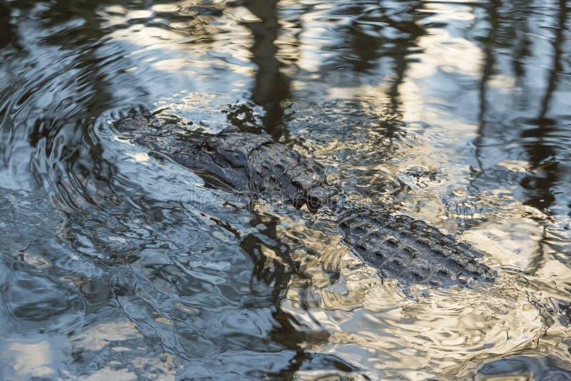 Amerikansk alligator i de Florida evergladesna fotografering för bildbyråer