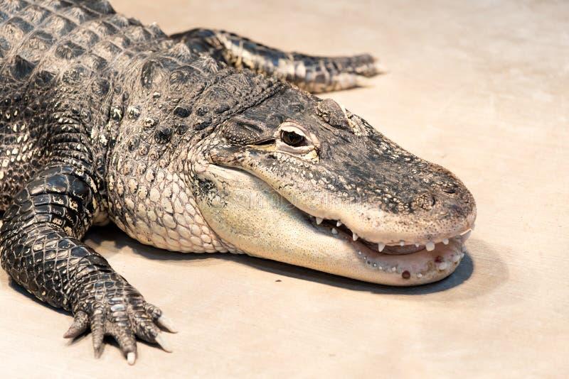 Amerikansk alligator i en zoo royaltyfri fotografi