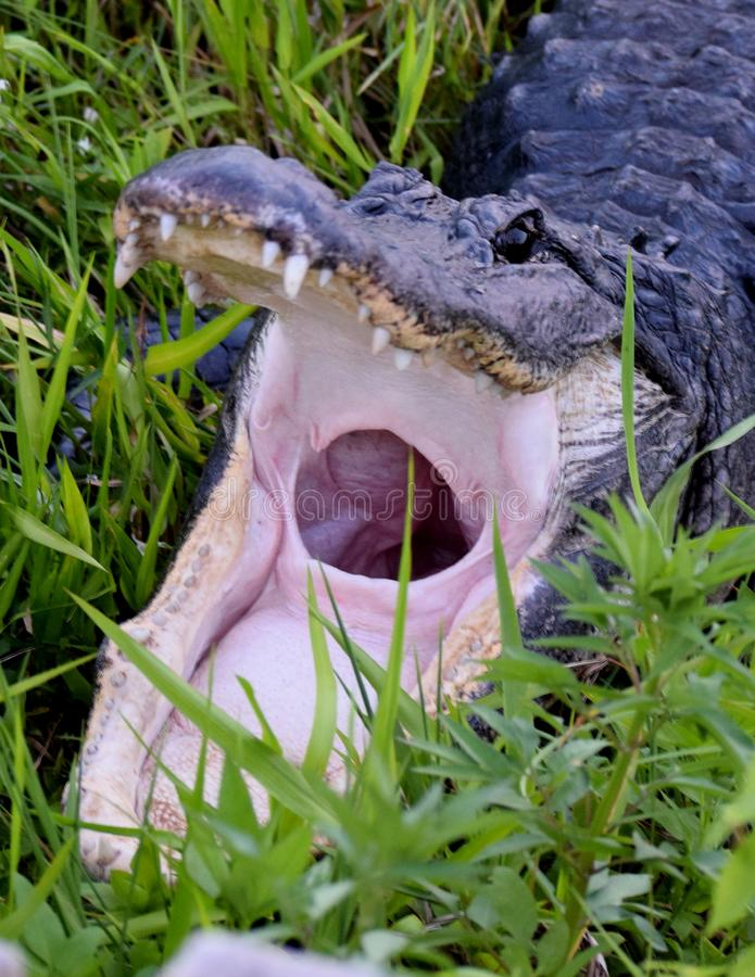 Amerikansk alligator i Evergladesnationalpark arkivbilder