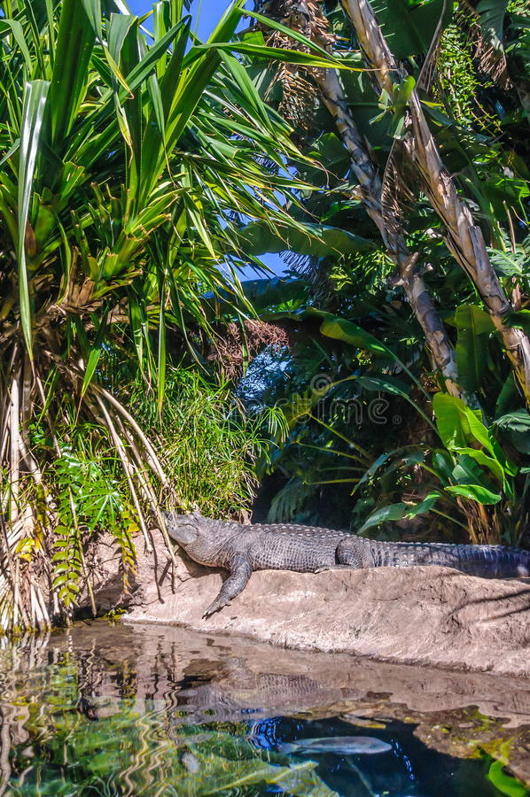 Amerikansk alligator i Loro Parque, Tenerife, kanariefågelöar arkivbild