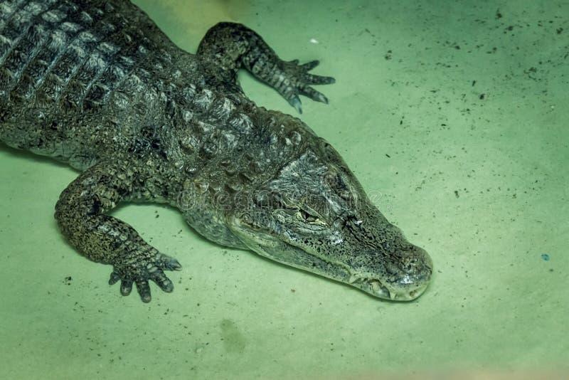 Amerikansk alligator i terrarium i zoo royaltyfria bilder