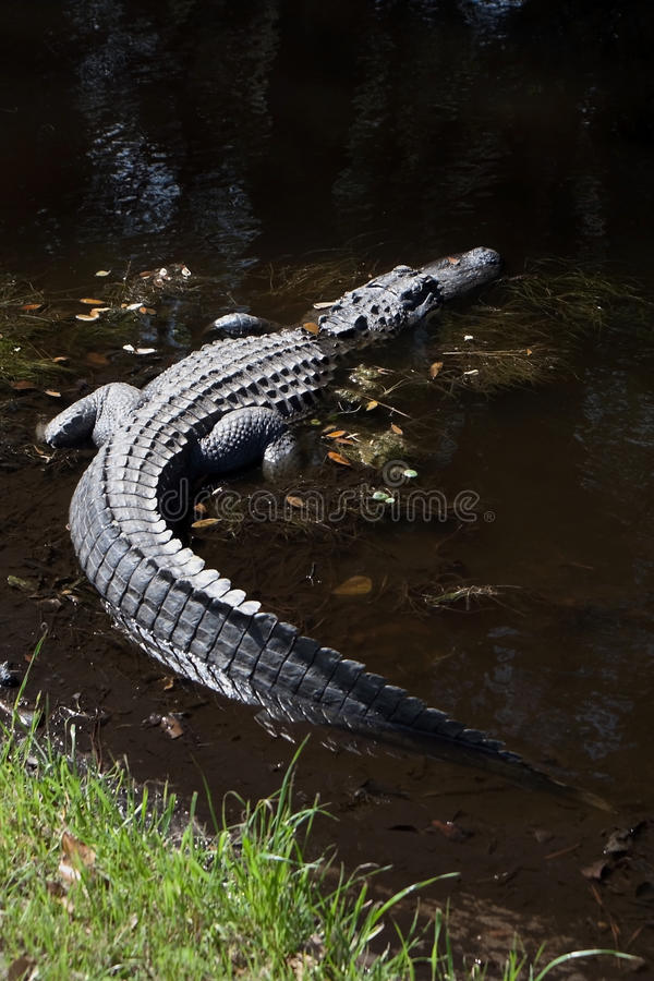 Amerikansk alligator i träskvatten på Hilton Head Island South Carolina arkivbilder
