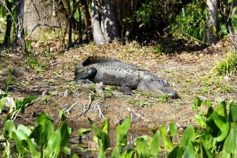 Amerikansk alligator som solbadar i det Florida träsket - Evergladesnationalpark - USA royaltyfri foto
