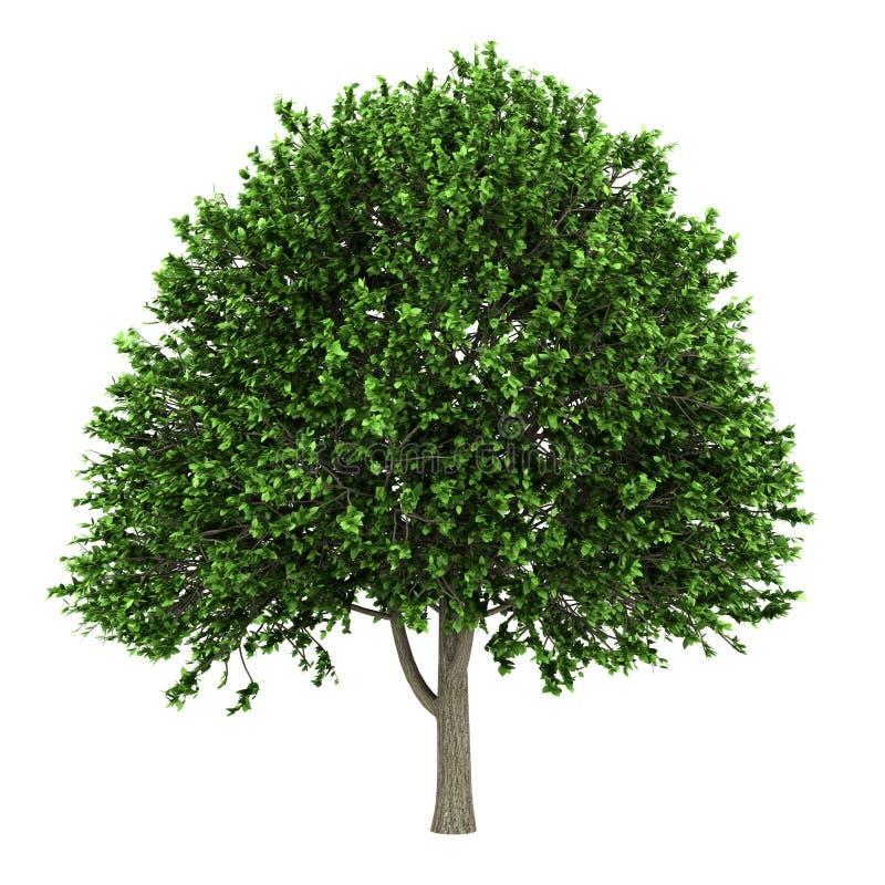 amerikansk alm isolerad treewhite royaltyfri illustrationer