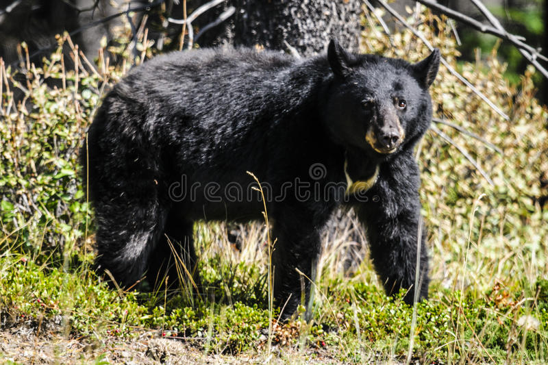amerikansk americanus björnblackursus arkivfoton