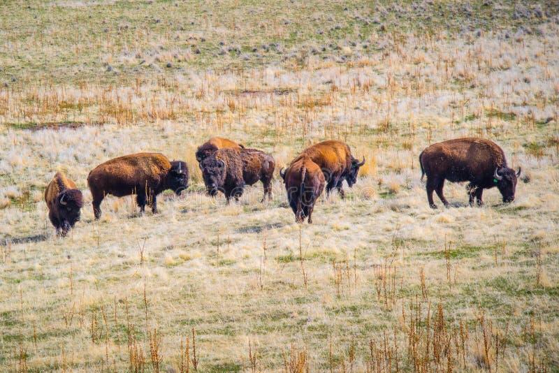 Amerikansk bison i fältet av antilopödelstatsparken, Utah arkivfoto